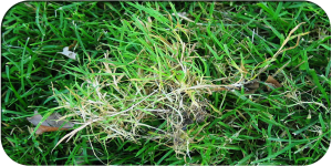 Lawn Weeds Holmes Property Maintenance Professional